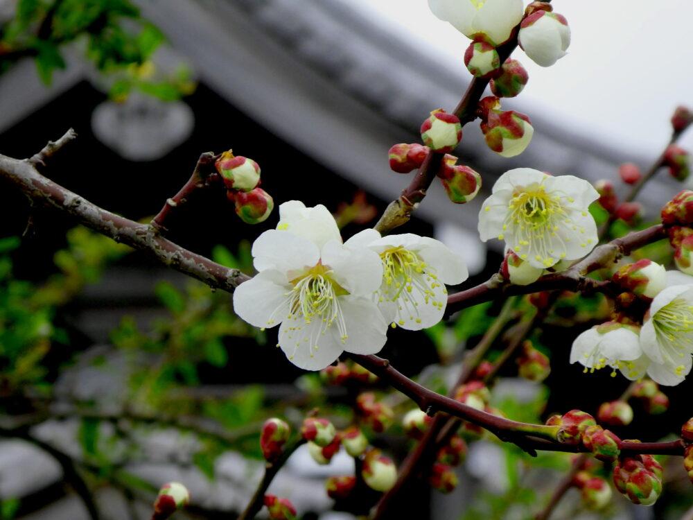 いわき市常磐「梅林寺」の梅が見頃です。2020年2月 梅の見どころ