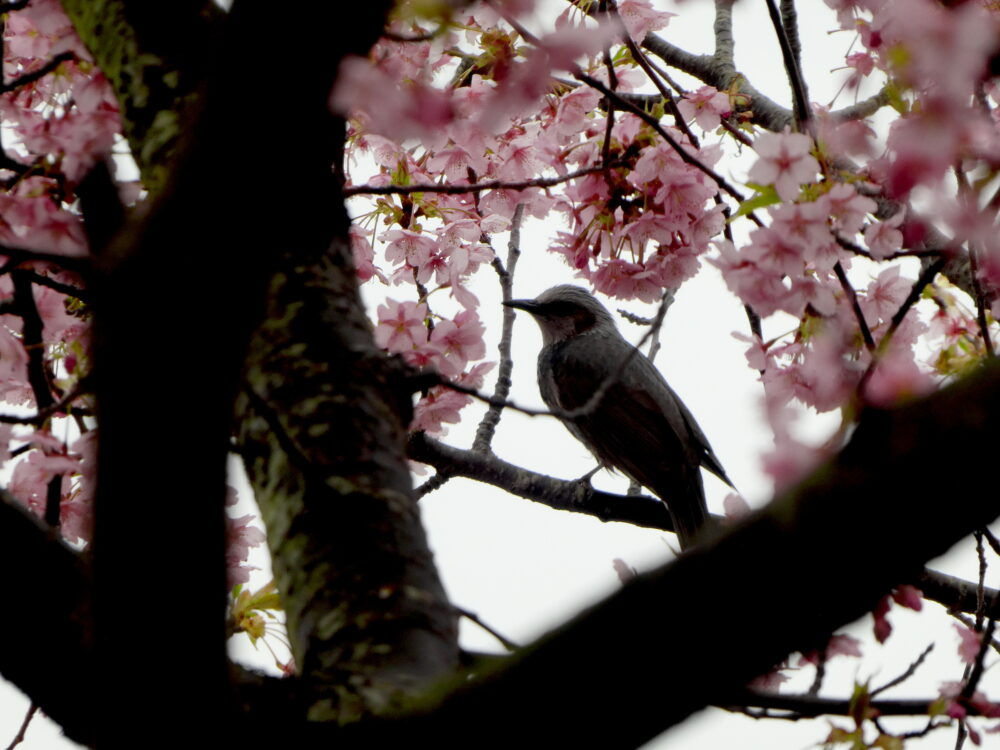 いわき市の河津桜は今週が見頃ですね!勿来火力発電所と21世紀の森公園編