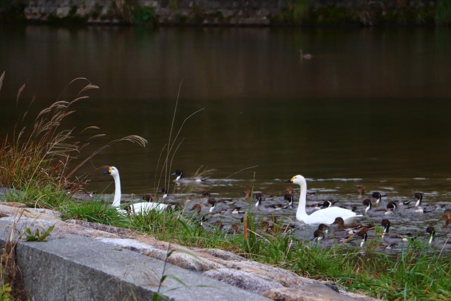 2020年 福島県いわき市 白鳥飛来地 小川地区「夏井川」に白鳥が来ました!