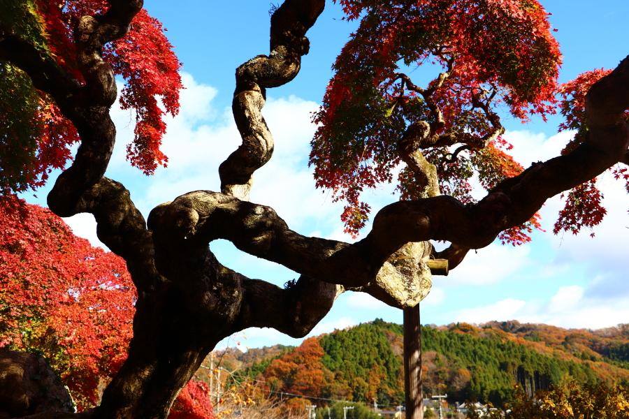 いわき市おすすめ紅葉スポット 湯本町 ときわ台の「銀杏と紅葉」!渡辺町「シダレモミジ」