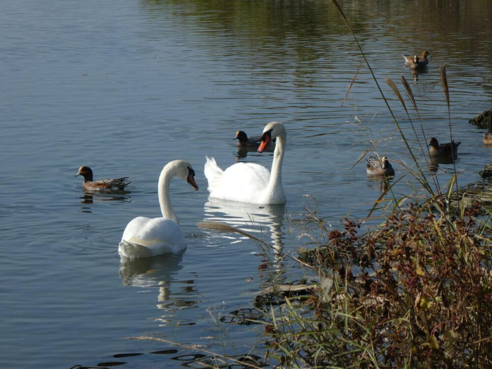 2020年 11月 いわき市白鳥飛来地「鮫川」 今年も白鳥がやってきました!