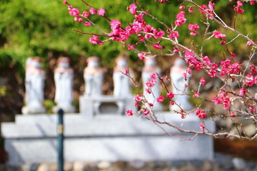 いわき市花見の名所 湯本「梅林寺の梅」 平「専称寺の梅」 梅は咲いたか?桜はまだかいな!?