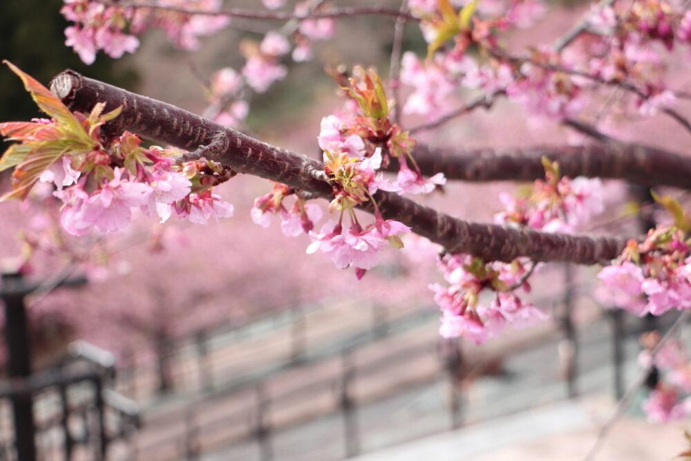 2021年3月14日(日)いわき市「河津桜」が満開になりました。勿来「火力発電所」湯本「21世紀の森公園」